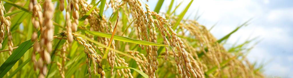 須賀川の米